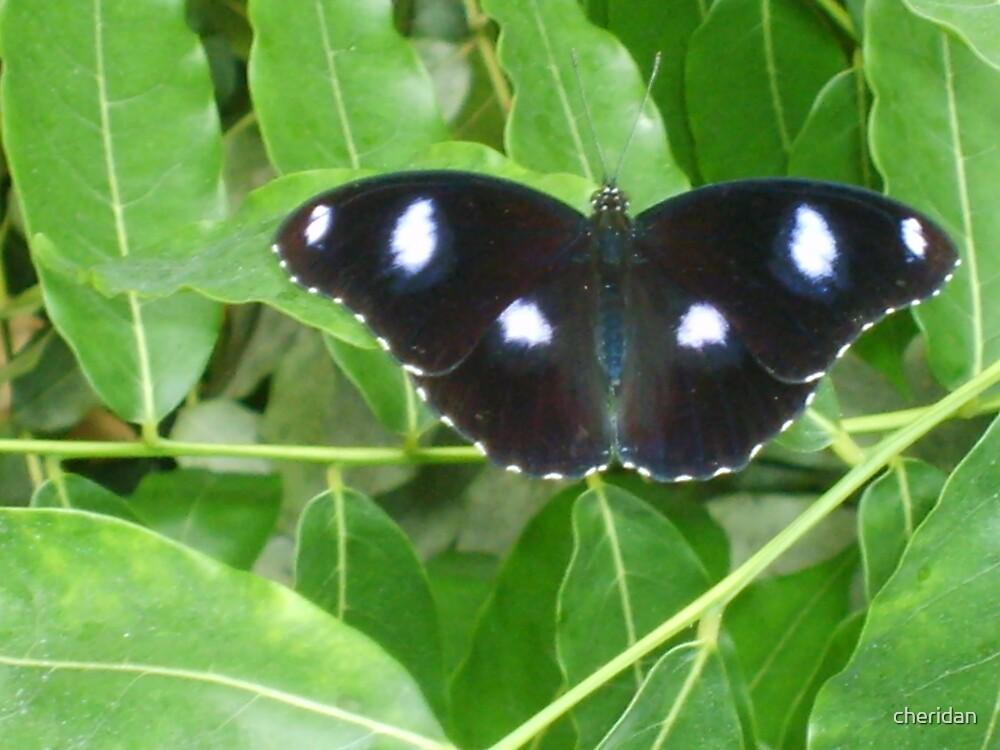 Butterfly  by cheridan