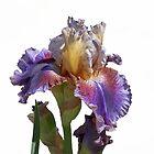 iris gladiolus in the garden by spetenfia