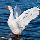 White geese 0614 by kevin chippindall