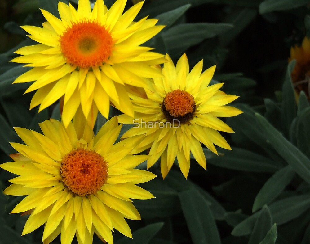 Triple Yellow by SharonD