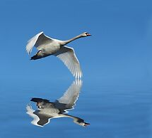 Reflections of a Swan by Lynn Bolt