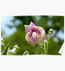 Twisted Pink - Tulip Bloom - NZ Poster