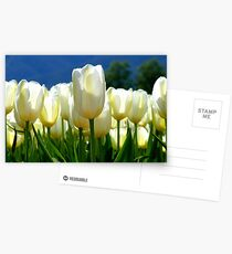 Standing Taller Than The Rest! - White Tulip Plantation - NZ Postcards