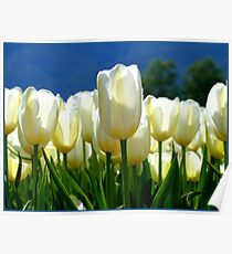 Standing Taller Than The Rest! - White Tulip Plantation - NZ Poster