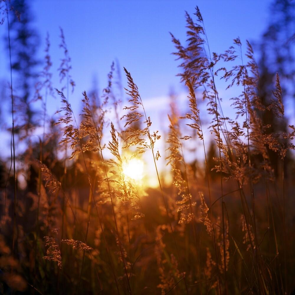 Sunset Grasses by Daniel Regner