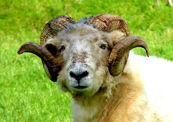 Head Gear! - Merino  - Sheep - NZ by AndreaEL