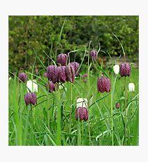 Kievitsbloem ~ Fritillaria Meleagris  Photographic Print
