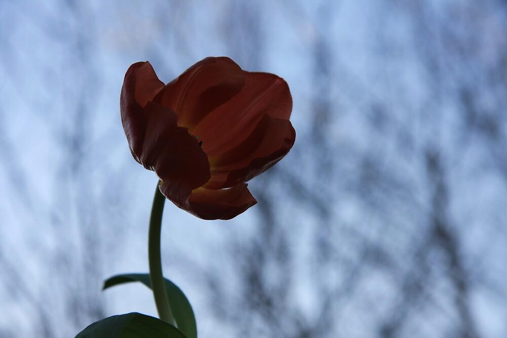 Tulip by Wesley Guijt