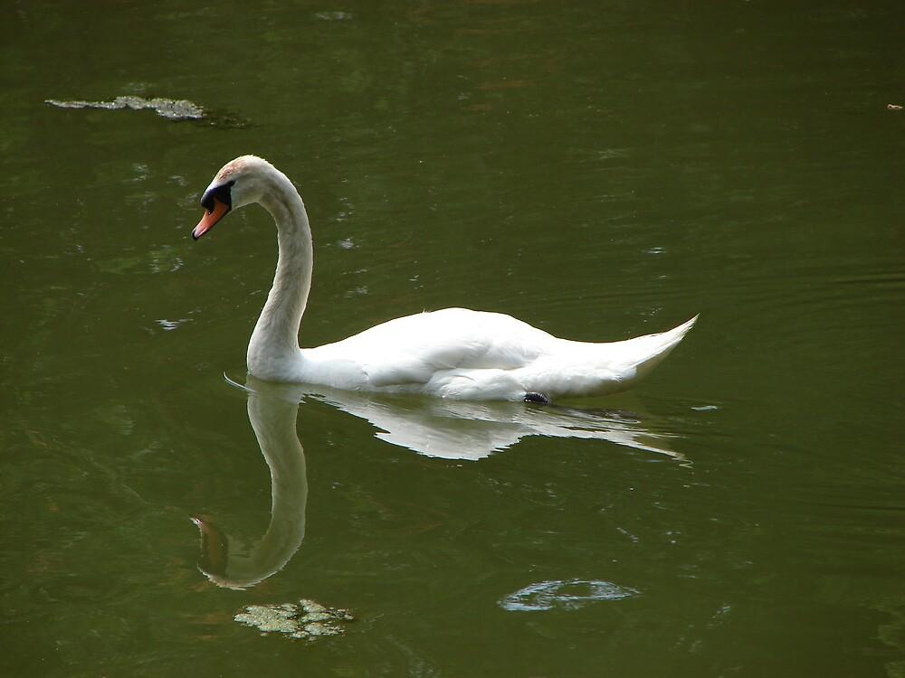 Hawk's Nest Swan by tracywebb