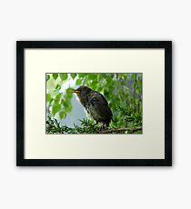 We have Fledged! - Starling - NZ Framed Print