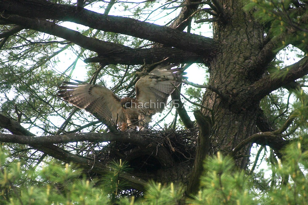 Hawk in nest by chaching57