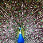 Blue Peafowl by Jo Nijenhuis