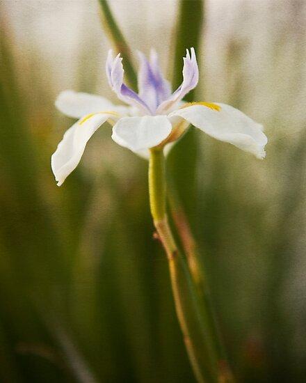 Iris in bloom flower photography by SammyPhoto