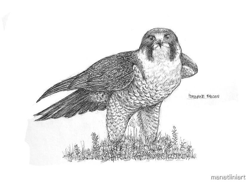 Peregrine Falcon by manatiiniart