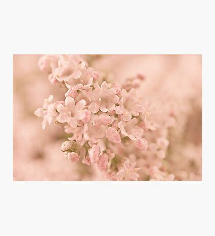Valarian Blossoms Macro Photographic Print
