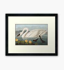 Common American Swan by John James Audubon Framed Print