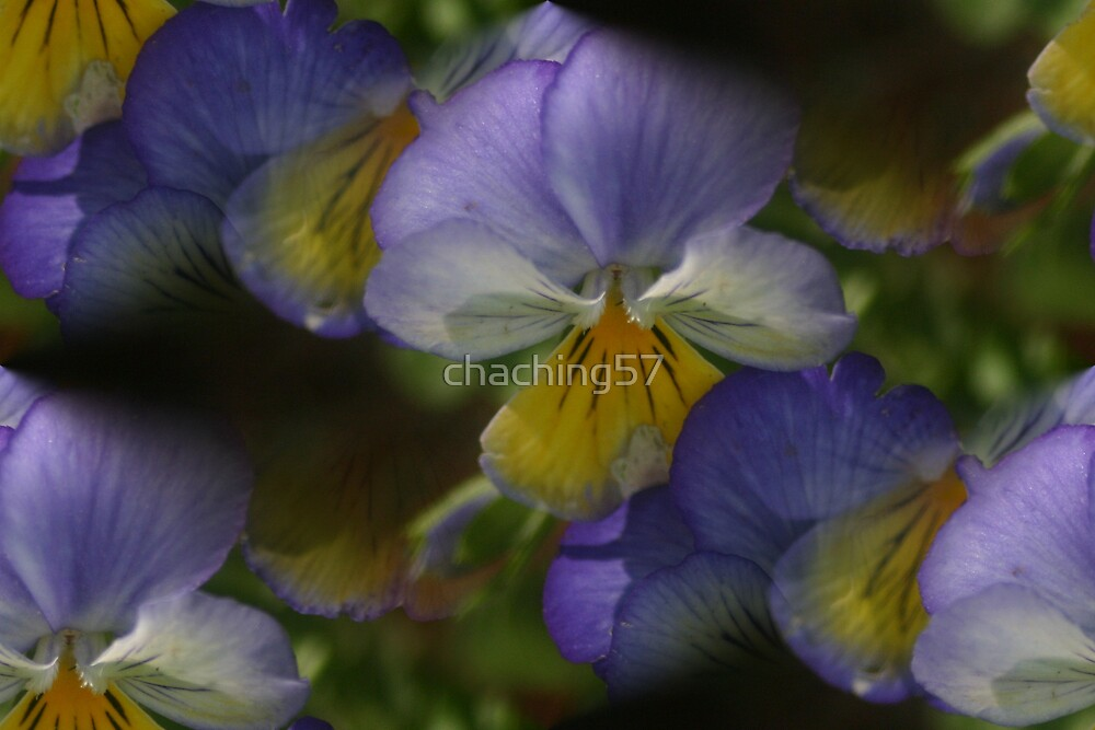 violets by chaching57