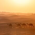 Camels in the Al Ain desert walking back home at the sunset. by Viktoryia Vinnikava