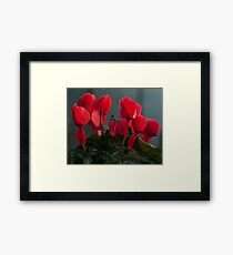 Dark red Cyclamen flower photography Framed Print