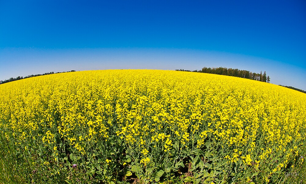 Brilliant Yellow of a Canola Field by gresl