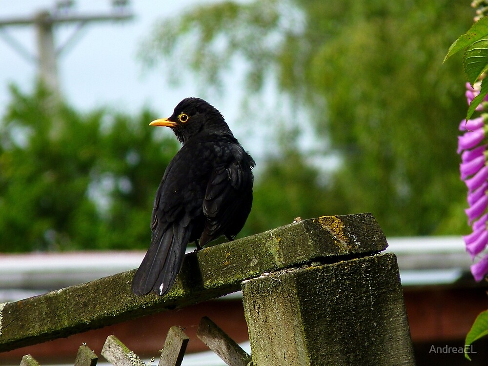 Blowing The Trumpet Of Warning! - Blackbird - NZ by AndreaEL
