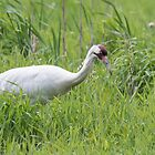 Whooping Crane 2017-1 by Thomas Young