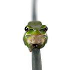 Dwarf Tree Frog by shadows