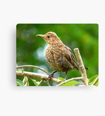 Look I Still Have My Egg Tooth! - Baby Black Bird - NZ Canvas Print