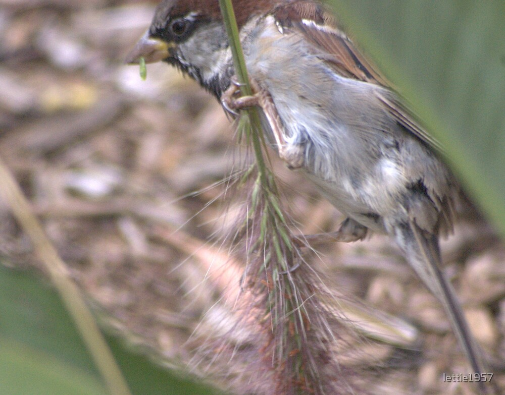 Sparrow nibbling on a grass stalk  by lettie1957