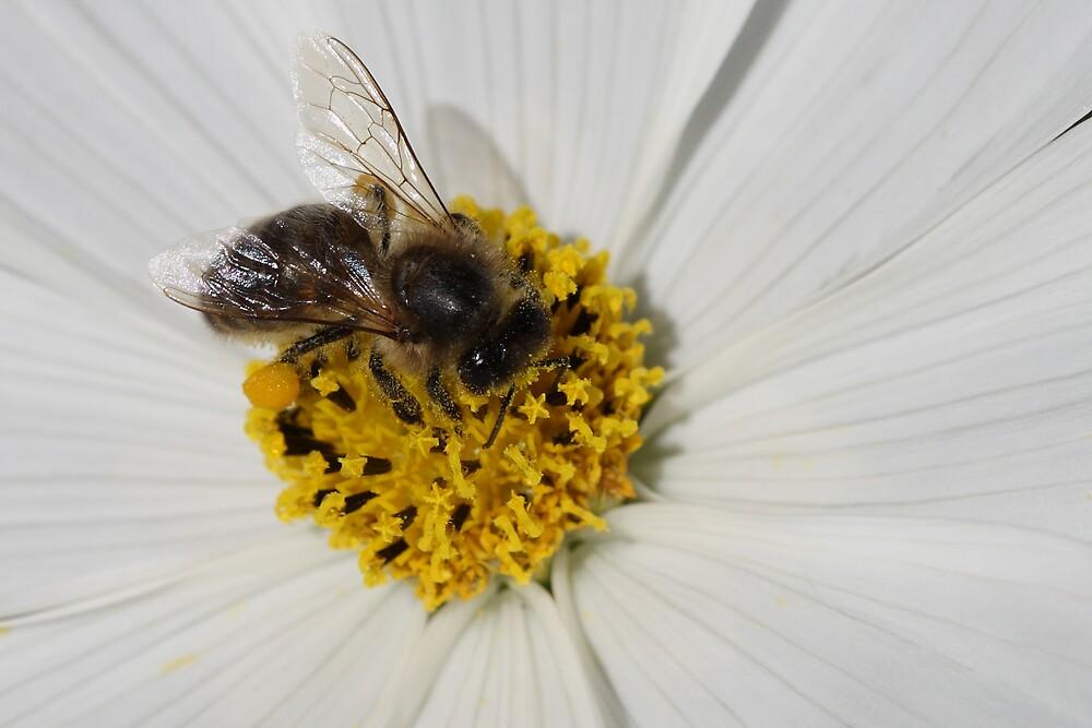 Bee In Cosmos Flower by David Jamrozik