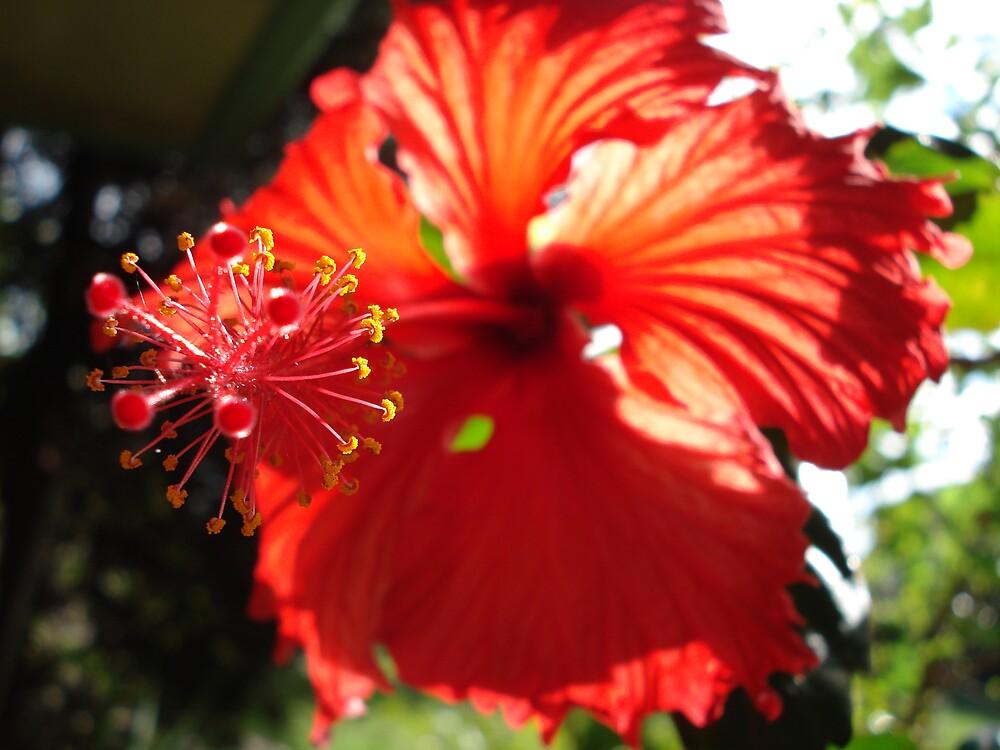 hibiscus in sun by kveta