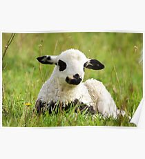 Lamb in the spring Poster