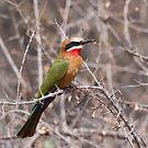 White-fronted Bee-Eater, Kruger National Park, South Africa by Erik Schlogl
