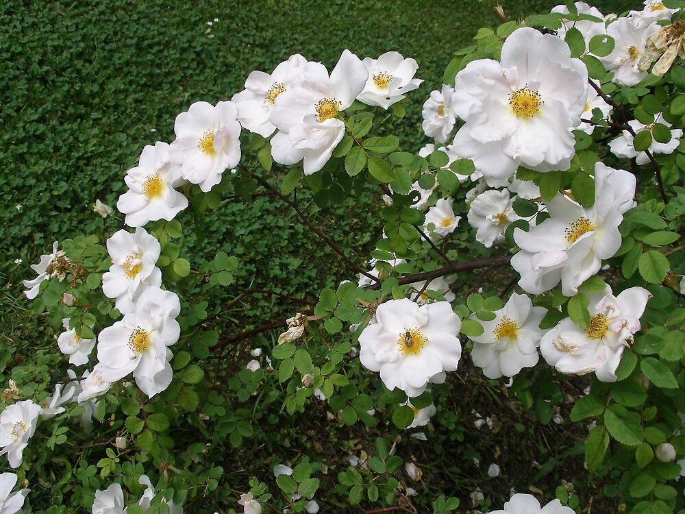 white roses by kveta