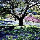 WITHOUT A SHADOW OF A DOUBT THE BLUEBELLS ARE OUT!  by NICK COBURN PHILLIPS