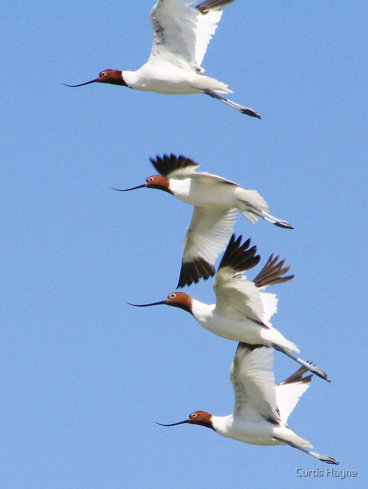 Red-necked Avocets by Curtis Hayne