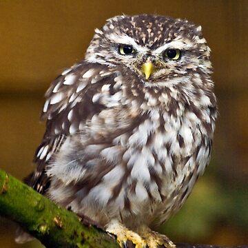 Little owl staring by Dalyn