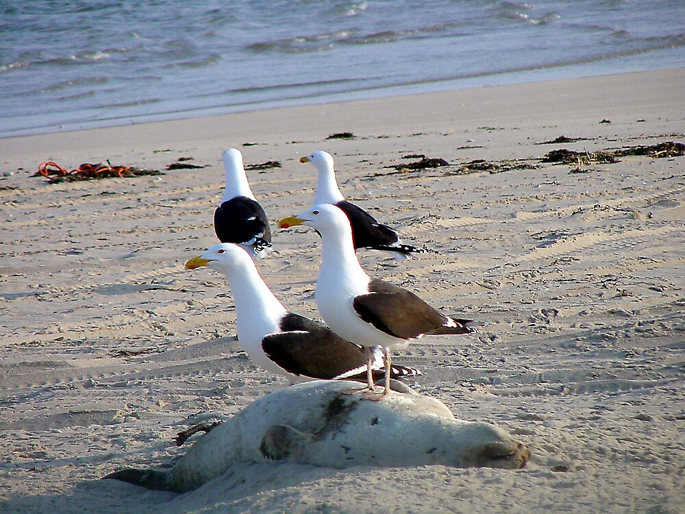 Great-black Backed Gulls on seal by Petrel