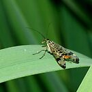 Scorpion Fly by Kawka