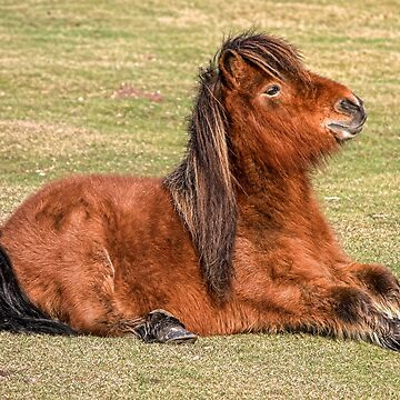 Shetland Pony in the New Forest by Dalyn