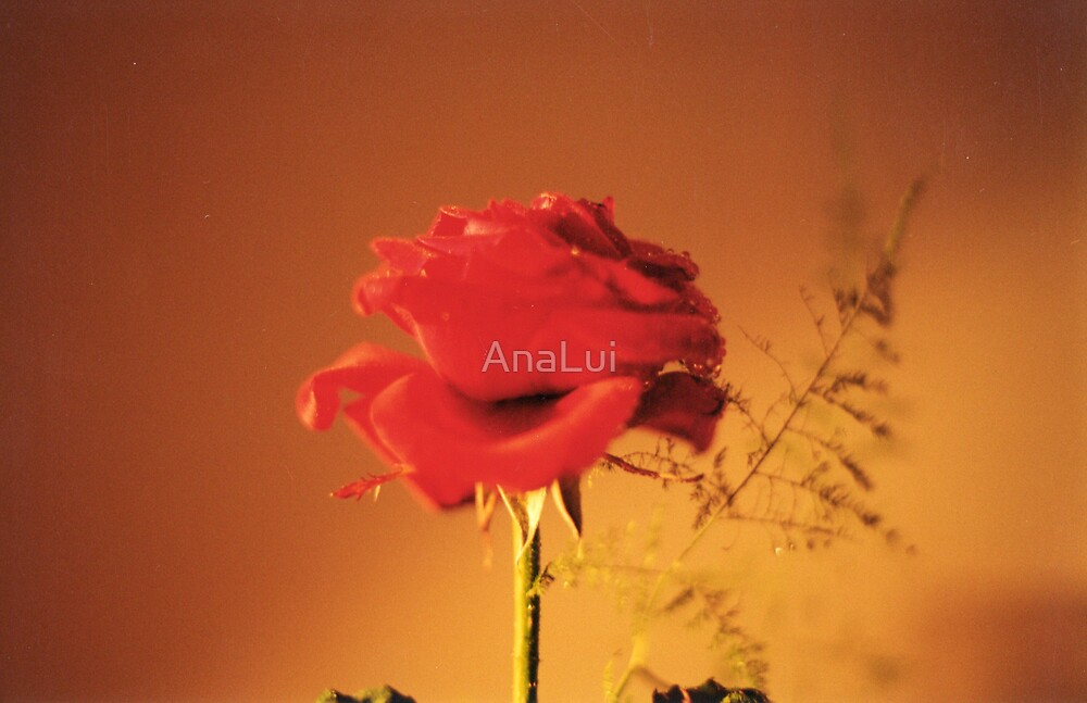 old photo of a rose by AnaLui