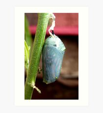 Caterpillar To Wings! - Monarch Chrysalis Pupae - NZ Art Print