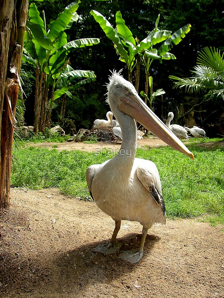 Pelican by shakey