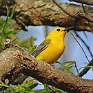 Prothonotary Warbler II by Sandy Keeton