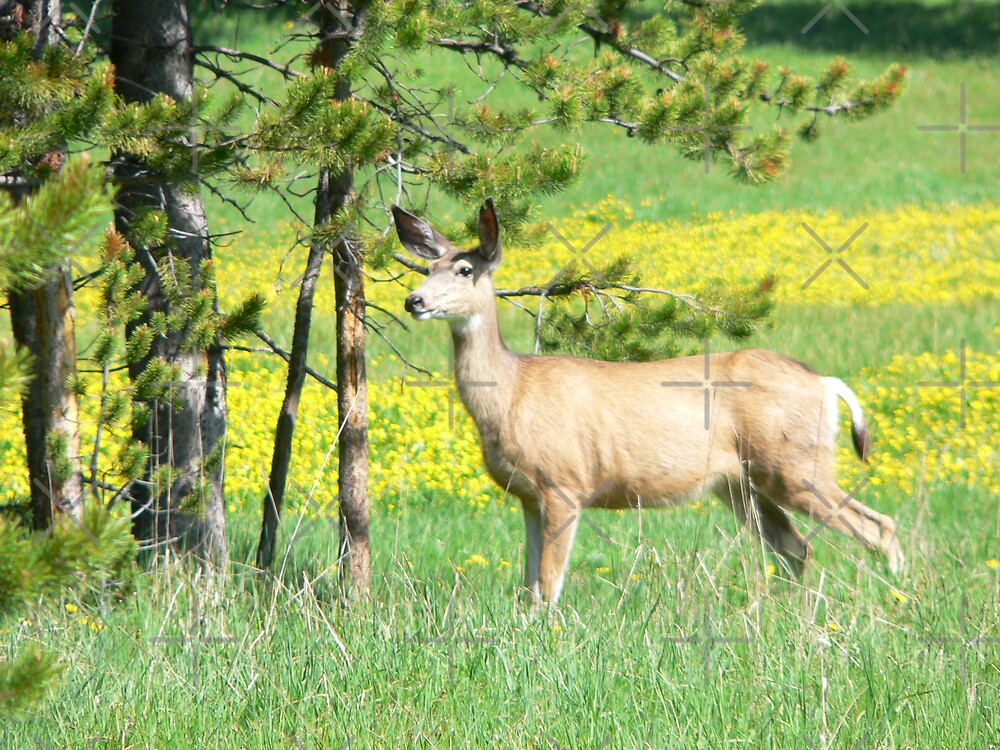 Mule Deer On Meadows Edge by kevint