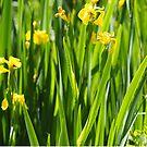 Yellow Iris by woolcos