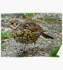 Moment Frozen In Time! - Baby Song Thrush - Southland Poster