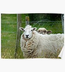 Stop Reading Over My Shoulder! - Sheep NZ Poster