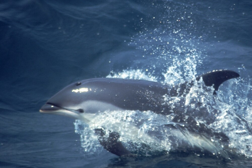 Atlantic White-sided Dolphin by Petrel