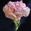 Single purple Terry carnation flower by mrivserg